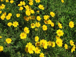 Lance-leaf Coreopsis blooms in late spring and early summer. U.S. Forest Service photo.