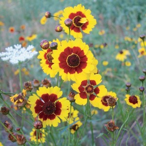 Plains Coreopsis are commonly found on roadsides throughout the state.