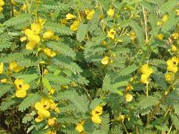 Partridge Pea provide vital habitat to wildlife, including bobwhite quail. USDA photo.